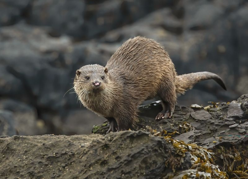 05 Sea Otter on Rocks Kintyre by Stephen Lee