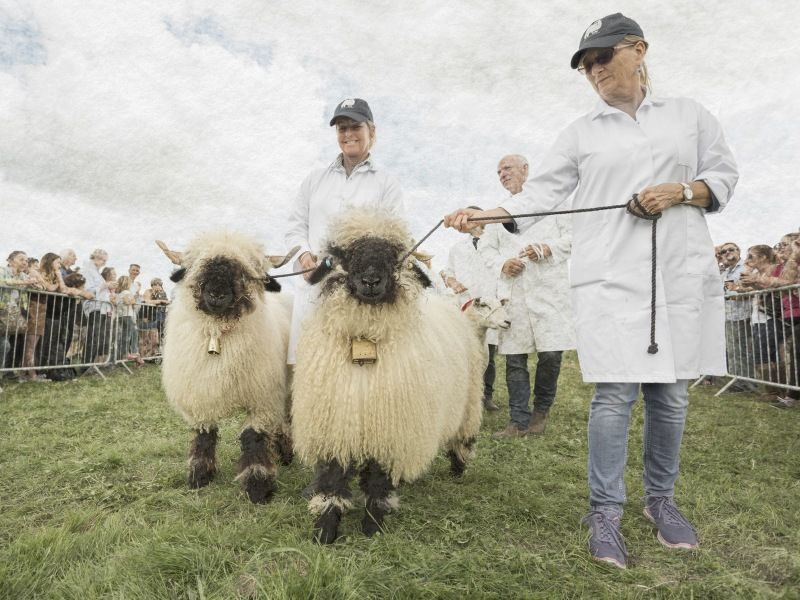 05 Sheep on Show by Stephen Jones