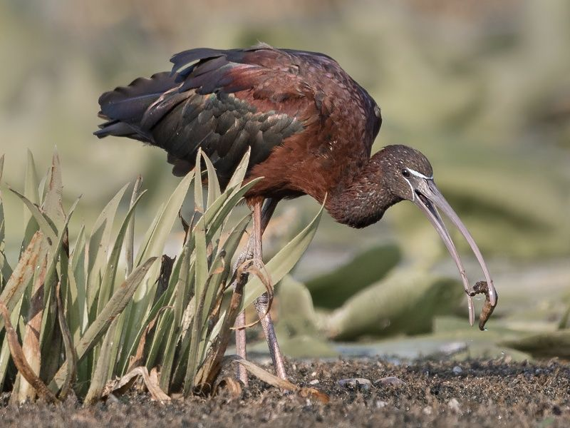 06 Glossy Ibis with Grub by Susan Buckland