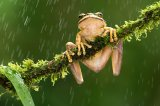 06 Masked frog in the rain by David Cantrille