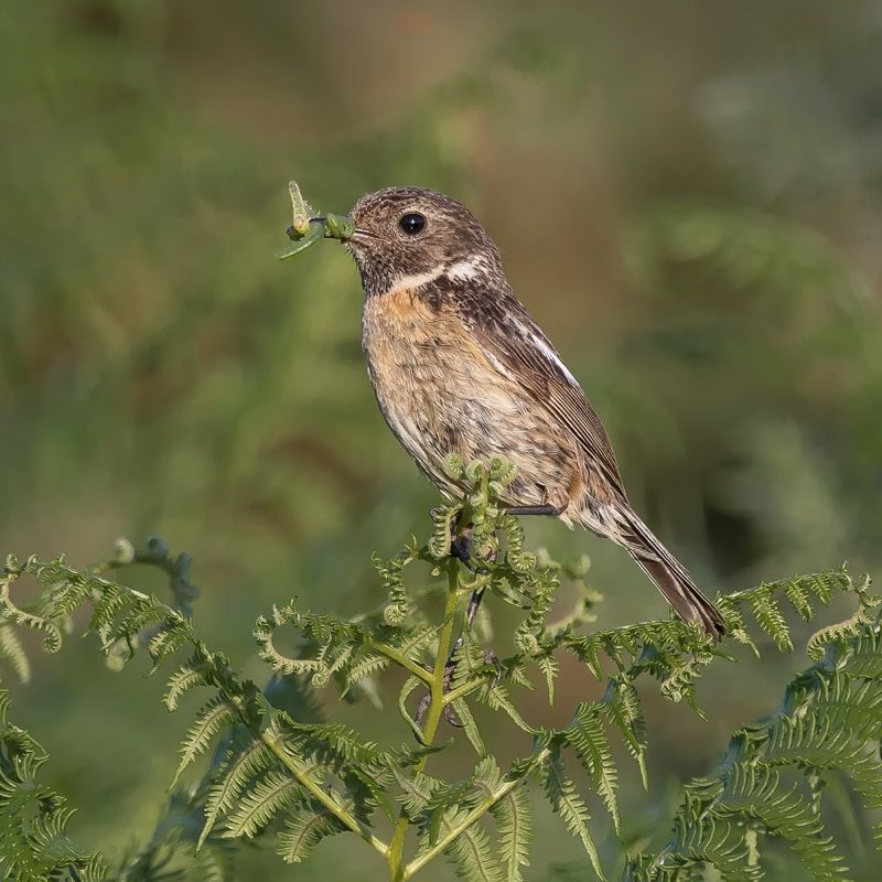 06 Stonechat with Prey by Martin Davenport