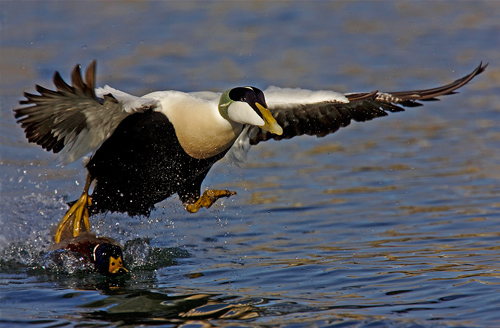 Eider Taking Off by David Cantrille
