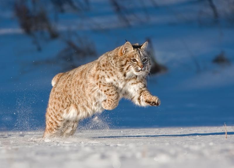 07 Running Bobcat by Valerie Duncan