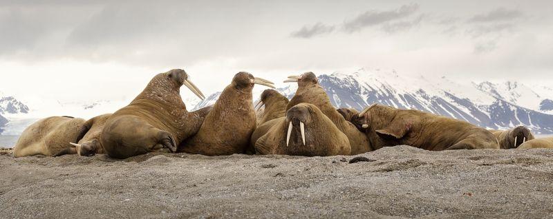 07 Svalbard Walrus Pod by Jane Lee