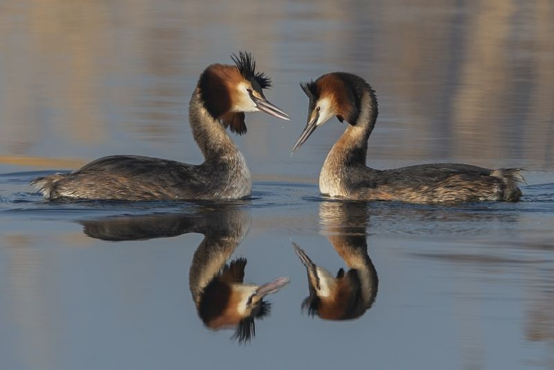 08 Great Crested Grebes Attraction by Tim Downton
