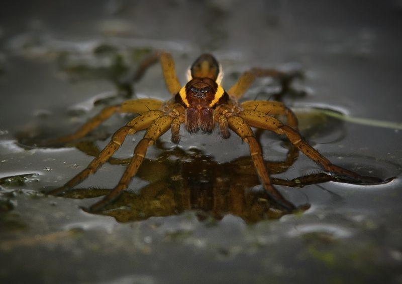 08 Raft Spider by Iain Friend
