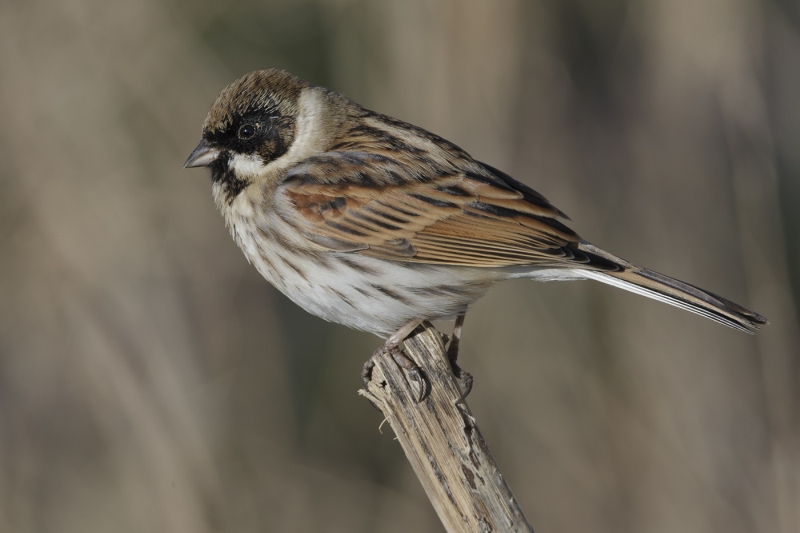 08 Reed Bunting by Tim Downton