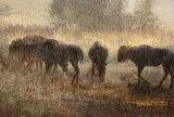 08 Wildebeest in Sunset Shower by Lisa Bukalders LRPS