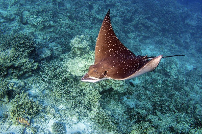 09 Penny Piddock Eagle Ray Over the Reef