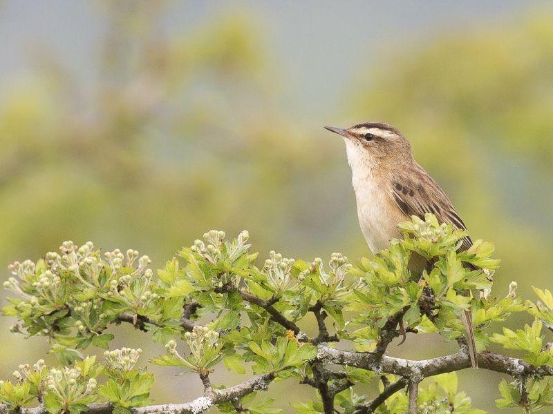 09 Sedge Warbler by Iain Friend