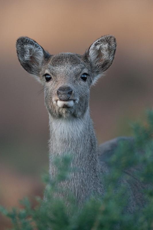 09 Sika Deer by Tim Downton