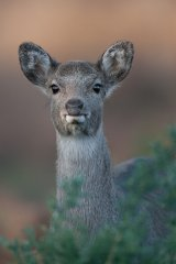 09 Sika Deer by Tim Downton