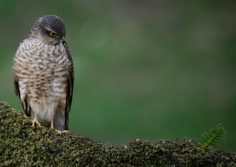09 Sparrowhawk by Iain Friend