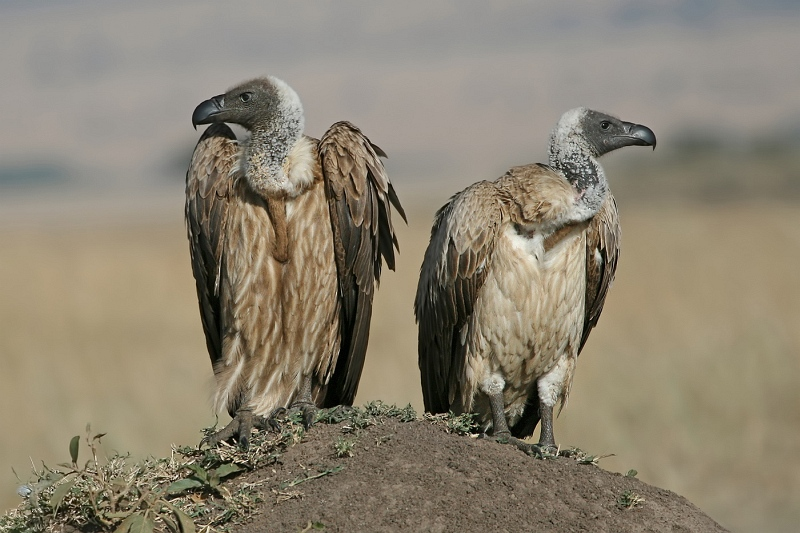 09 Vultures On Lookout by Susan Buckland