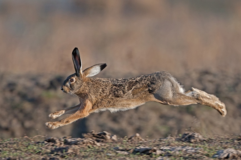10 Brown Hare by Tim Downton
