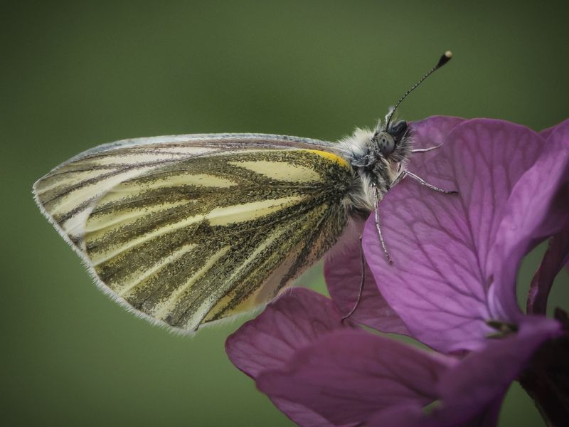 10 Green-Veined White Butterfly by Iain Friend