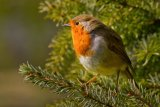 10 Robin by Val Brierley LRPS
