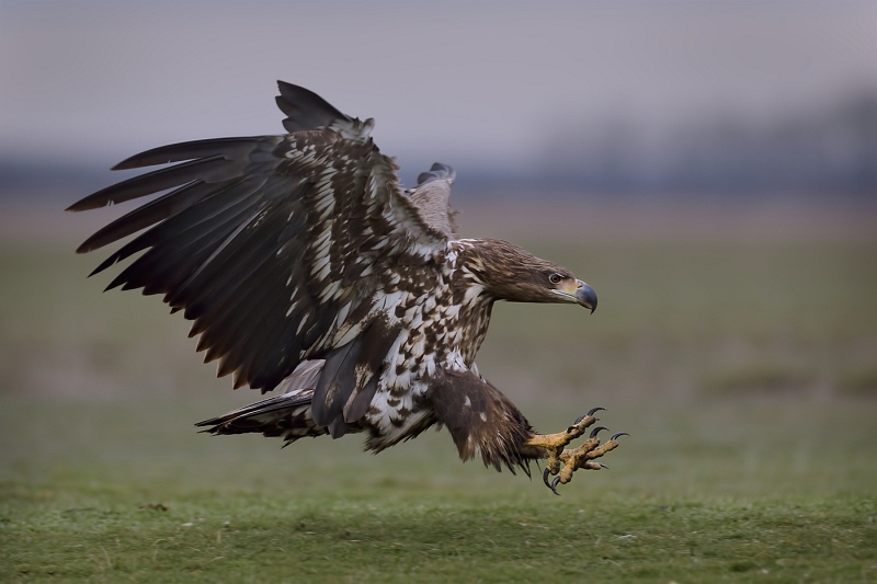10 White Tailed Eagle Landing by Susan Buckland