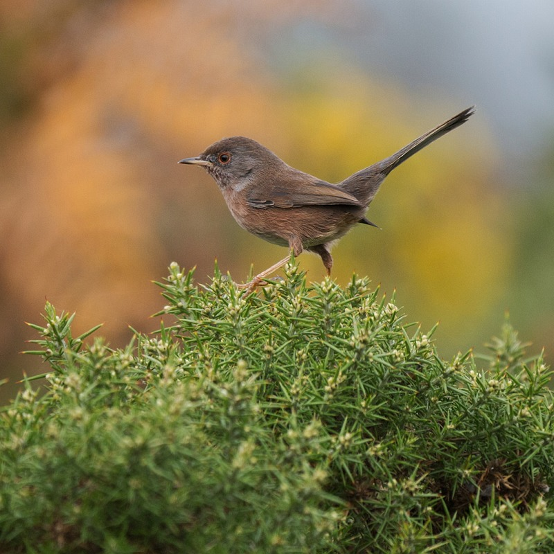 11 Dartford Warbler Autumn by Susan Buckland