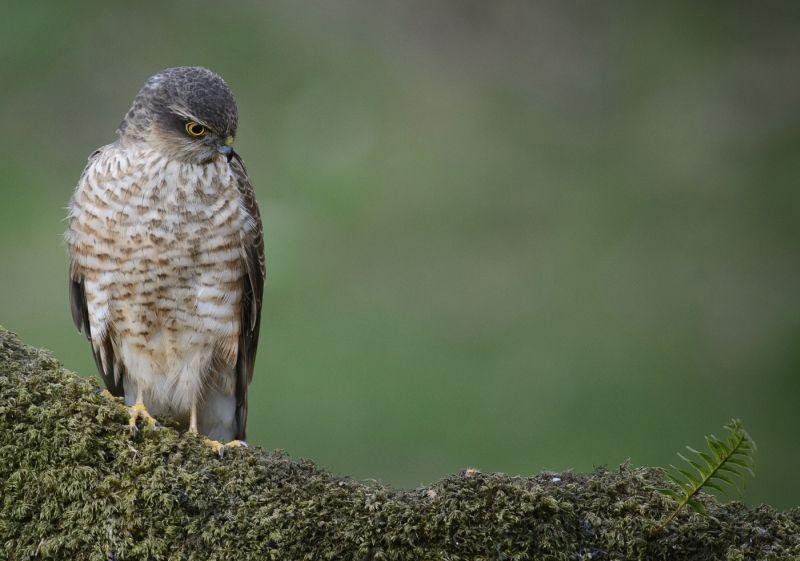 11 Male Sparrowhawk by Iain Friend