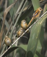 12 Bearded Reedling Juveniles in Reeds by Susan Buckland