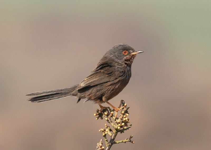 12 Dartford Warbler by Jane Lee