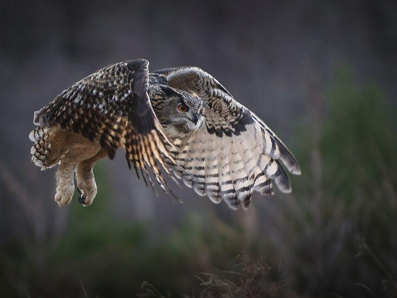 12 Eagle Owl by Iain Friend