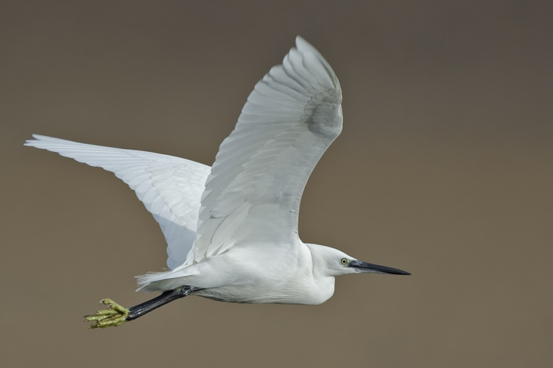12 Little Egret by Tim Downton