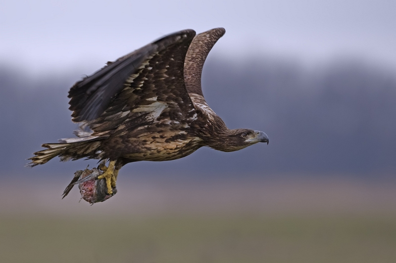 12 Sea Eagle with Fish Head by Tim Downton