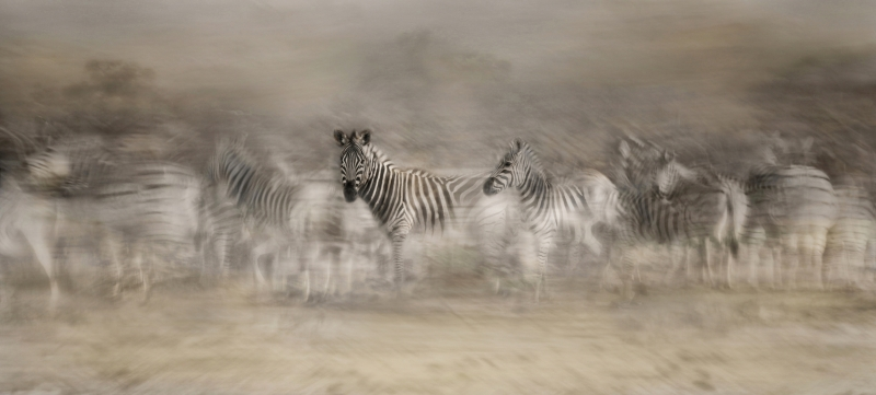 12 Zebra Dreamtime by Lisa Bukalders