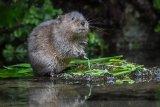 13 Adult Male Watervole by Penny Piddock