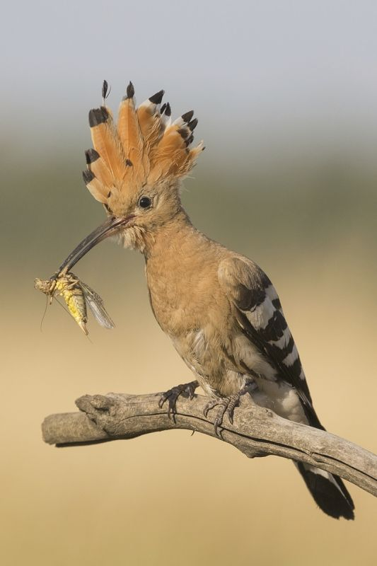 13 Hoopoe with Cricket by Susan Buckland