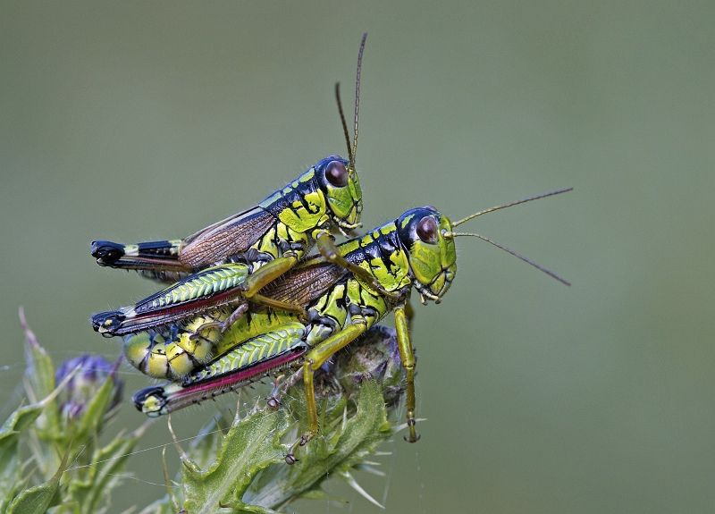 13 Mary Cantrille Crickets Mating
