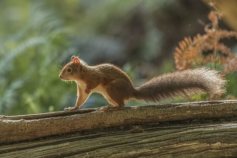 13 Stephen Lee Backlit Red Squirrel