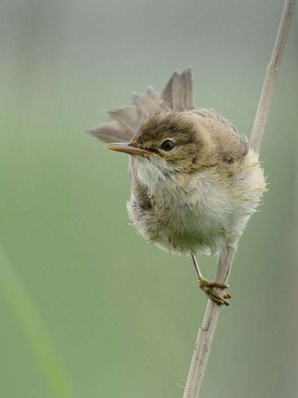 13 Warbler Reed by Iain Friend