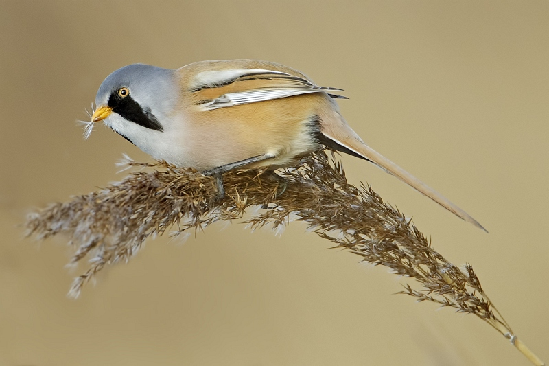 14 Male Bearded Tit by Tim Downton