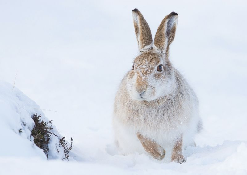 14 Mountain Hare Running by Iain Friend
