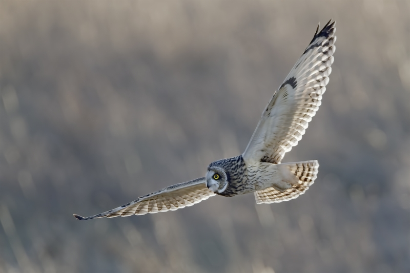 14 Short-Eared Owl by Tim Downton