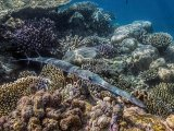 14 Trumpet-fish over reef by Penny Piddock