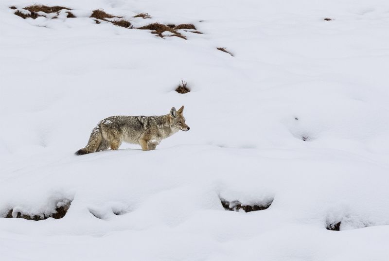 14 Yellowstone Coyote by Stephen Lee
