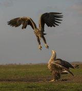 15 Eagle Confrontation by Susan Buckland