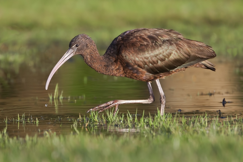 15 Glossy Ibis by Tim Downton