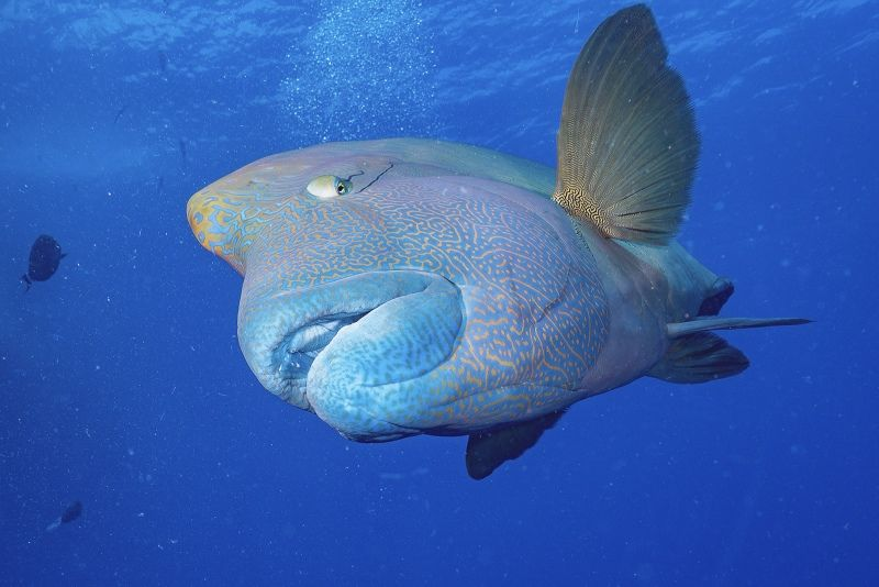 15 Napoleon Wrasse Approaching by Spike Piddock