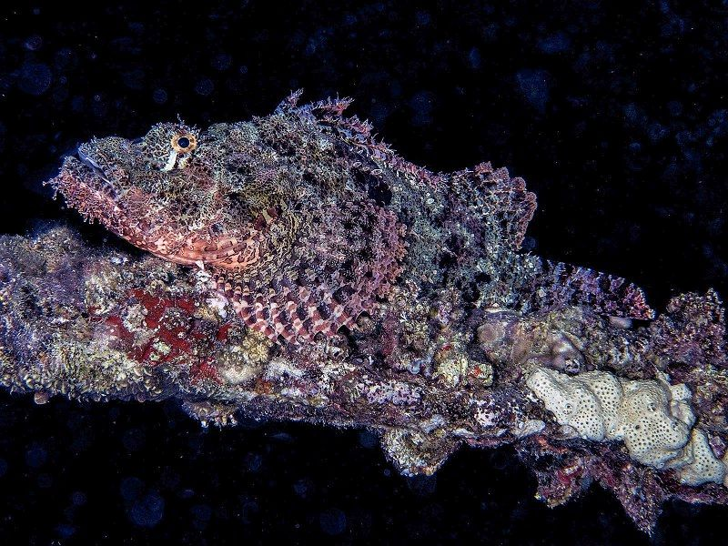 15 Spike Piddock Scorpionfish on Wreck