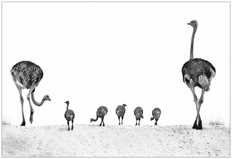 18 Ostrich Family Outing by Lisa Bukalders
