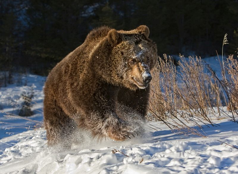 18 Valerie Duncan Grizzly Running in Snow