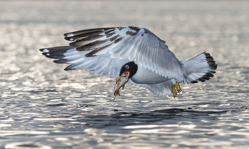 19 Pallas's Gull with Fish by Susan Buckland