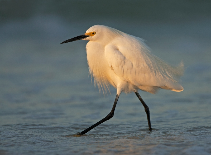 19 Snowy Egret at Sunrise by Mary Cantrille