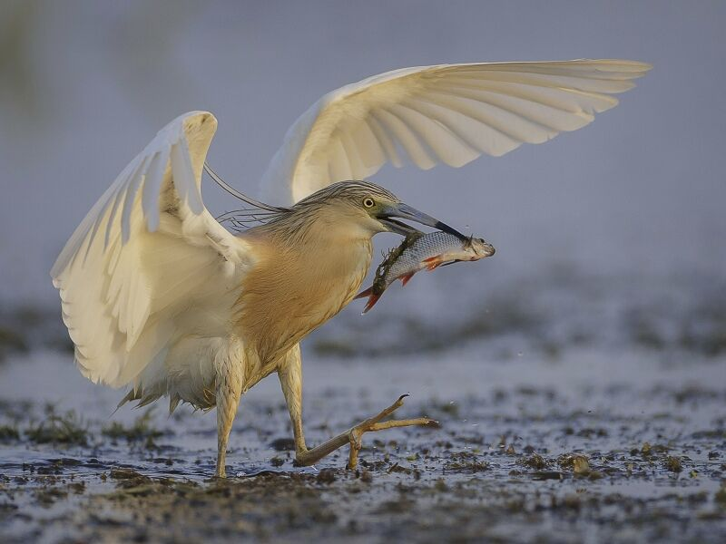 20 Squacco Heron with Catch by Tim Downton (Print)