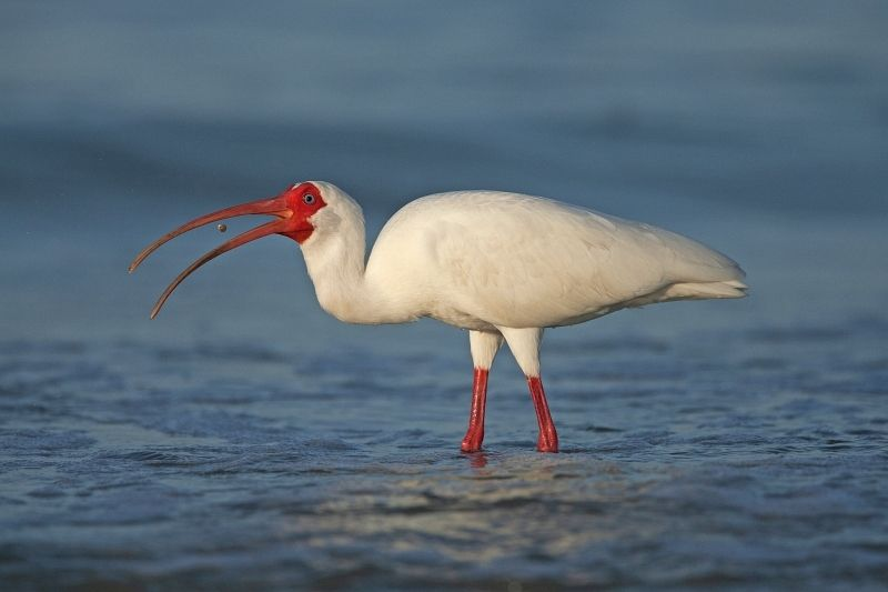 20 White Ibis by Mary Cantrille